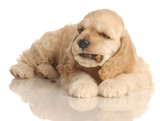 american cocker spaniel puppy eating a piece of dog food poster