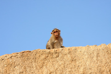 Monkey sitting on the rock, isolated over blue background