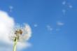 blowball dandelion clock at springtime.....
