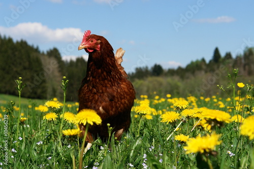 Hen outside in the meadow