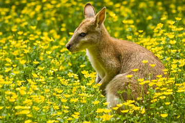 The wallaby, a small kangaroo, lives in east Australia