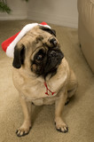 Holiday Pug Showing Concern poster