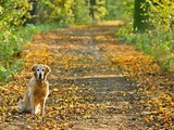 Dog (gold retriever) on walk  in park