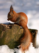 red squirrel on tree stump in winter forest