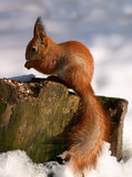 red squirrel on tree stump in winter forest poster