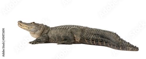 Foto op Plexiglas Krokodil American Alligator (30 years) in front of a white background
