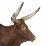 Ankole-Watusi in front of a white background