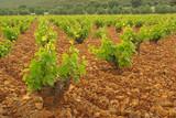 Weinberg im Olivenhain - vineyard in olive grove 05 poster