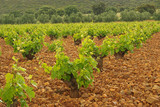 Weinberg im Olivenhain - vineyard in olive grove 06 poster