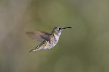 Rufous Hummingbird (Selasphorus rufus) in flight