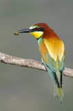 Bee-eater poster