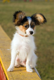 Portrait of the puppy of breed papillon. poster
