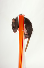 The small black baby rat clambers upwards on a red vase