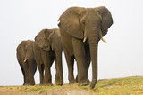 Africa, Botswana, Chobe National Park, Elefants in a row