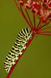Raupe des Schwalbenschwanz Schmetterling, Papilio machaon