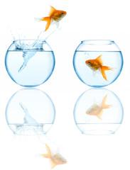 goldfish leaping in aquarium on white background