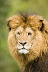 Löwe, Nahaufnahme