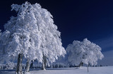 Germany, Black forest, snow-covered tree in forest
