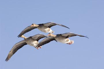 Fliegende Graugänse