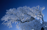 Germany, Black forest, snow-covered tree, low angle view