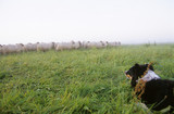 Germany, Lower Saxony, Border Collie, Herd of sheep grazing in field