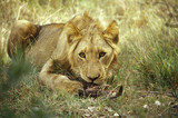 Phinda Private Game Reserve, Game Drive, lion eating, Kwazulu-Natal, Phinda, South Africa