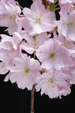 Pink Cherry Blossom, close-up