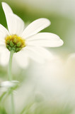 Marguerite, close-up