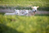 Three sheep on dike, close-up