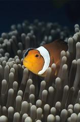 Westliche Clownfische, Amphiprion ocellaris