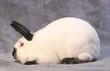 Parfait profil du lapin Californien