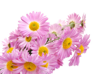 Bouquet of colorful pink chrysanthemum