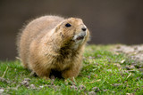 Curious fluffy prairie dog poster
