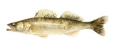 fresh and dead zander on the white background