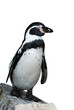 Humbolt penguin standing on a rock, background cut out