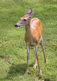 doe in daytime with the sun on its hide poster