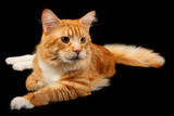 Red maine-coon cat over black poster