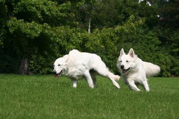 Deux Berger Blanc Suisse font la course