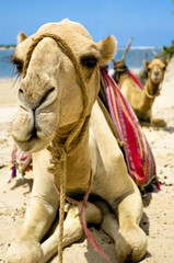 Two sitting camels -front view