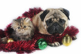 Pug dog with little Persian kitten. poster
