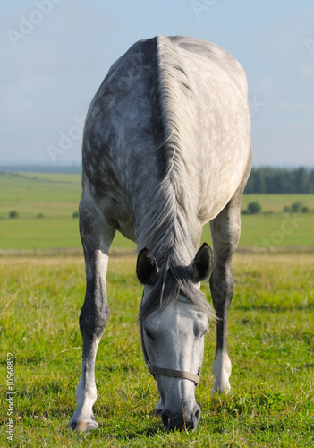 Dapple-grey horse pastures in field