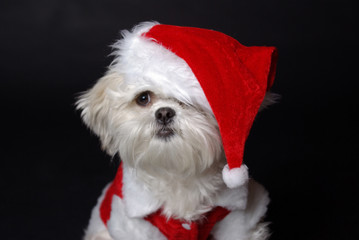White christmas dog