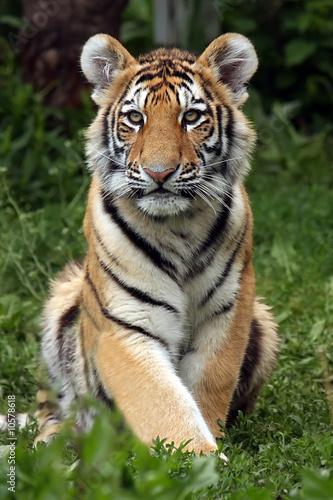 Papiers peints Tigre Amur Tiger Cub