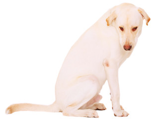 Isolated Nervous Male Labrador