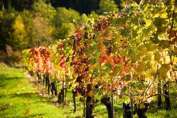 Weinberg in der Herbstsonne