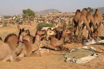 Camels for Sale at the Pushkar Fair
