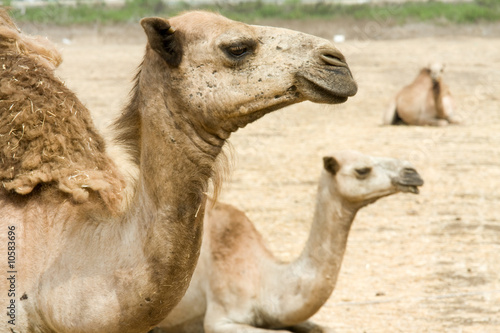 Camels on the field