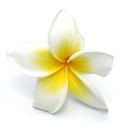 fleur blanche de frangipanier