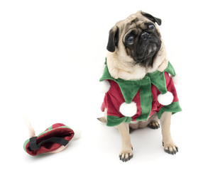 Isolated Elf Pug