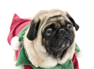 Embarrassed Elf Pug